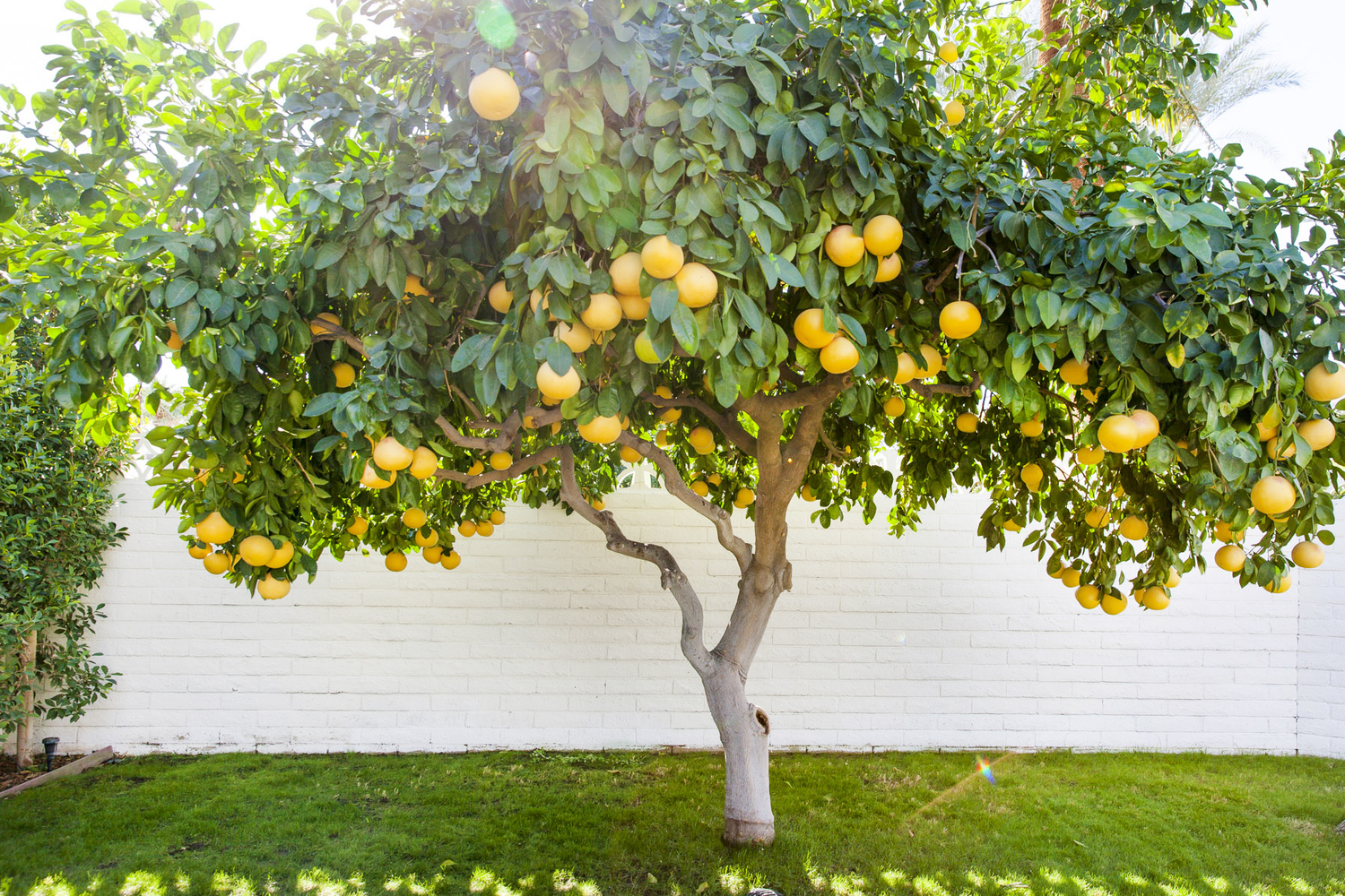 A sunny photo of an orange tree full of fruit in front of a white brick building.